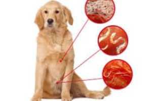 Как понять если у собаки глисты. Цестоды: ленточные глисты. Краткая характеристика видов гельминтов