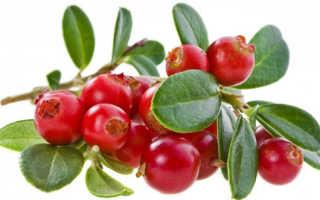 Клюква садовая полезные свойства