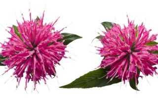Растение монарда полезные свойства
