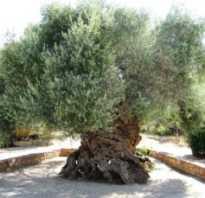 Черные оливки чем полезны