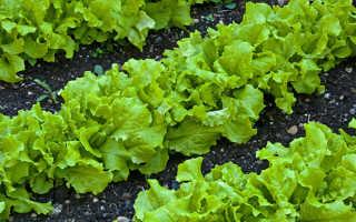 Полезные свойства листового салата