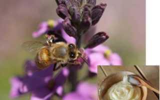 Мед аккураевый полезные свойства