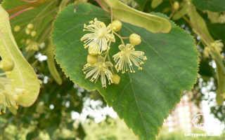Липа цветки полезные свойства