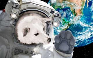 Четвероногие космонавты. Первые животные в космосе. Белка и Стрелка — собаки-космонавты