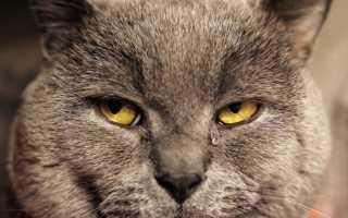 Почему слезятся глаза у британских кошек? Слезятся глаза у британской кошки: что делать