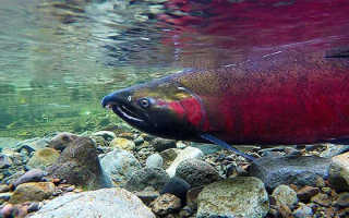 Рыба кижуч где обитает и чем полезна