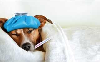 У щенка температура 36 4 что делать. Высокая температура у собаки, причины, как помочь