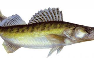 Полезные свойства рыба судак