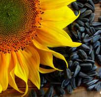 Семена подсолнуха польза и вред