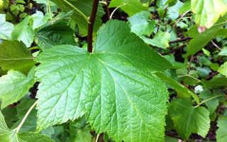 Чай из листьев смородины польза и вред